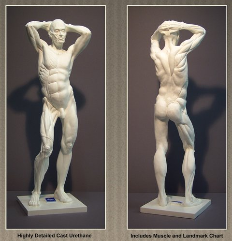 Ecorche Anatomical Male Study Model Artist Drawing Cast Sculpture